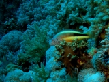 Hawkfish on Daedalus Reef, Red Sea