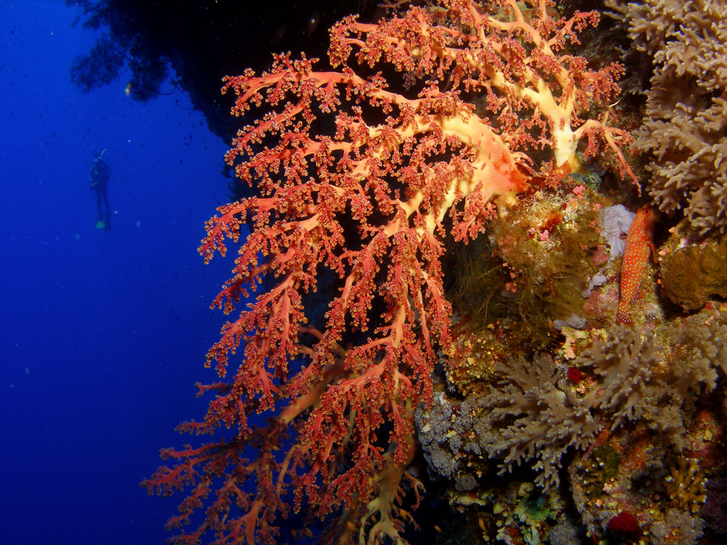 Soft coral photo