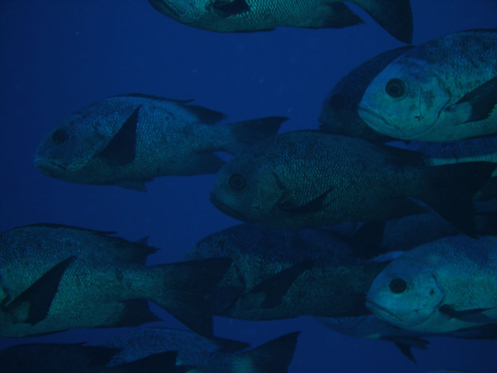 Midnight Snappers photo, taken on Elphinstone Reef