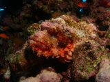 Red Sea Scorpion Fish