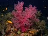 Soft coral on Elphinstone Reef, Red Sea