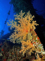 Soft coral on Ghiannis D shipwreck by Tim Nicholson