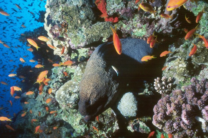Moray Eel with anthias