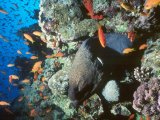 Moray eel with anthias, Red Sea