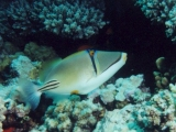 Picasso Trigger Fish, Red Sea