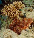 Scorpionfish, Red Sea