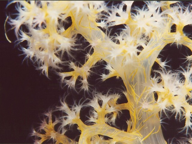 Red Sea Soft Coral, Dendronephthya
