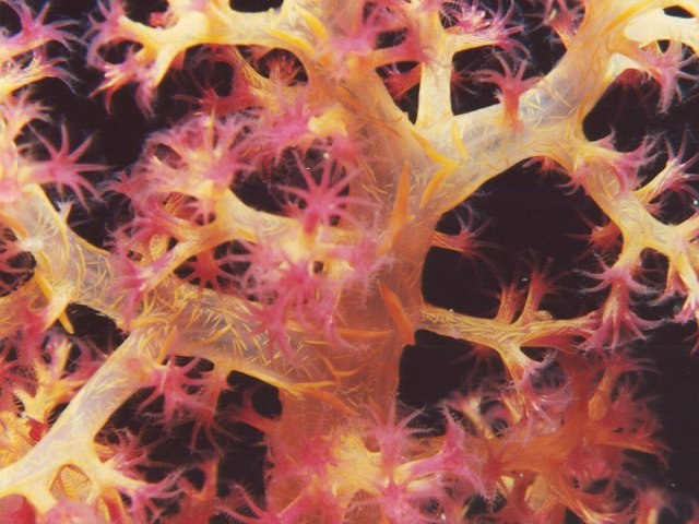Red Sea Soft Coral Photo