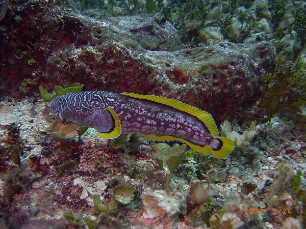 Photograph of Splendid Toadfish, Cozumel