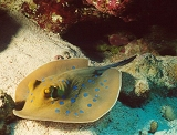 Stingray, Red Sea