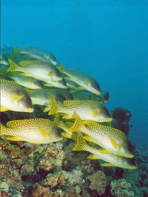 Shoal of Sweetlips Fish