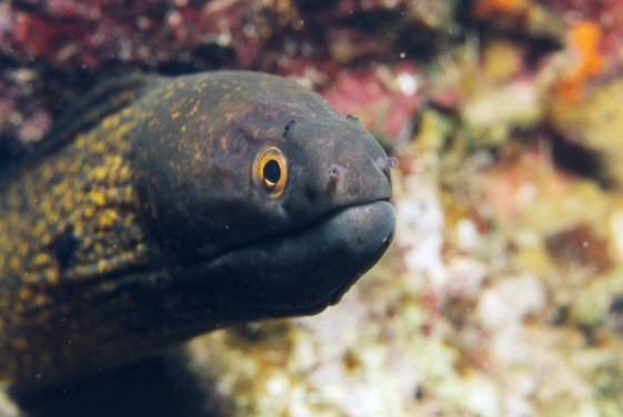 Yellow Moray Eel
