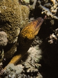 Yellow Moray, Red Sea